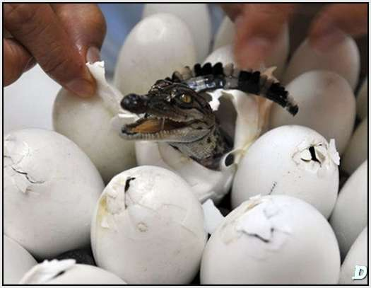 Animals That Hatch from Eggs http://www.dyscario.com/pets-and-animals/nile-crocodile-hatching-from-egg.html