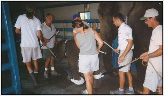 Training-Process-of-Young-Elephants-10