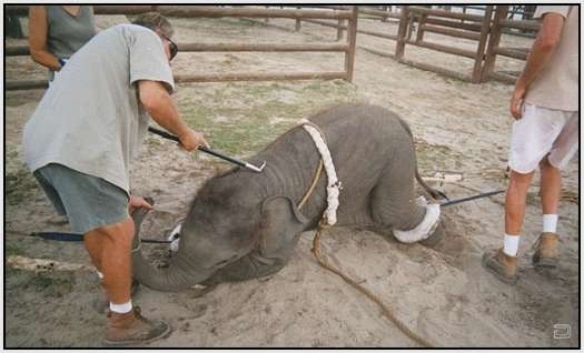 Training-Process-of-Young-Elephants-11