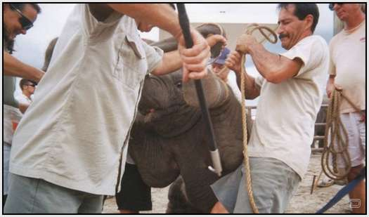 Training-Process-of-Young-Elephants-15