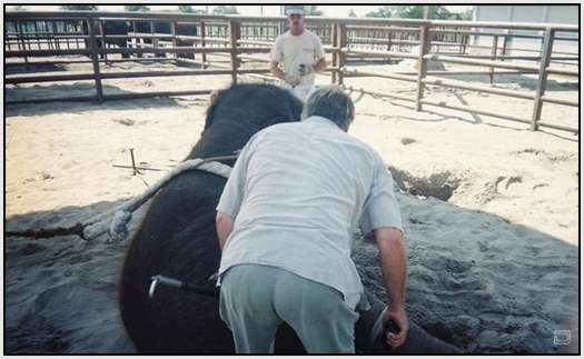 Training-Process-of-Young-Elephants-18