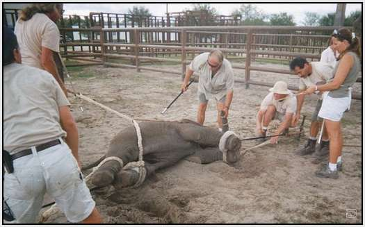 Training-Process-of-Young-Elephants-19