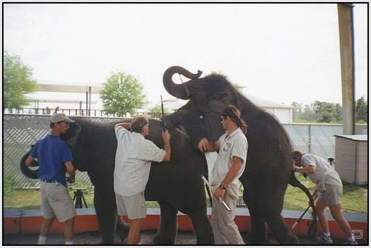 Training-Process-of-Young-Elephants-2