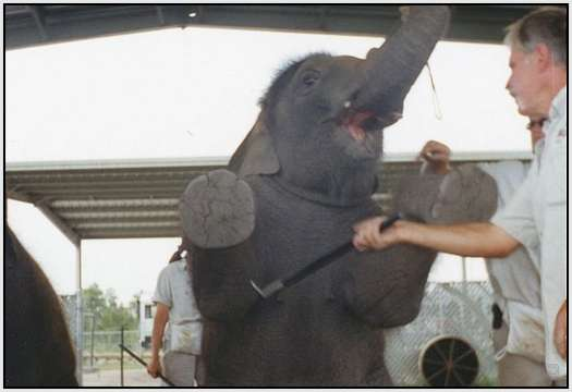 Training-Process-of-Young-Elephants-20
