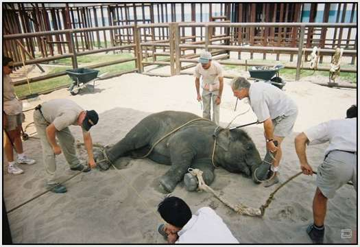 Training-Process-of-Young-Elephants-24