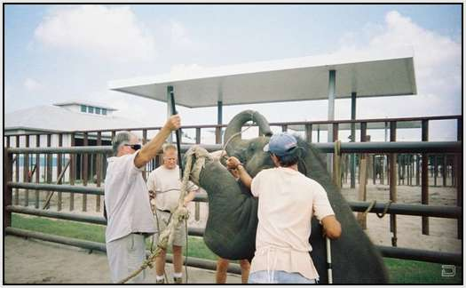 Training-Process-of-Young-Elephants-4