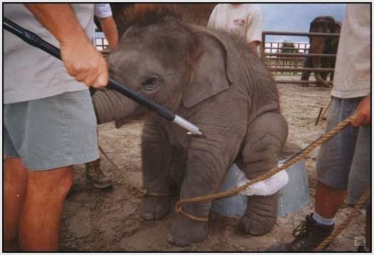 Training-Process-of-Young-Elephants-5