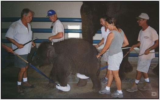 Training-Process-of-Young-Elephants-8